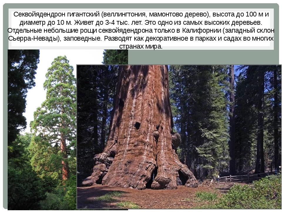 Секвойядендрон гигантский (веллингтония, мамонтово дерево), высота до 100 м и...