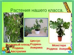 Растения нашего класса. Восковый плющ Родина-Австралия Циссус Родина- Америка