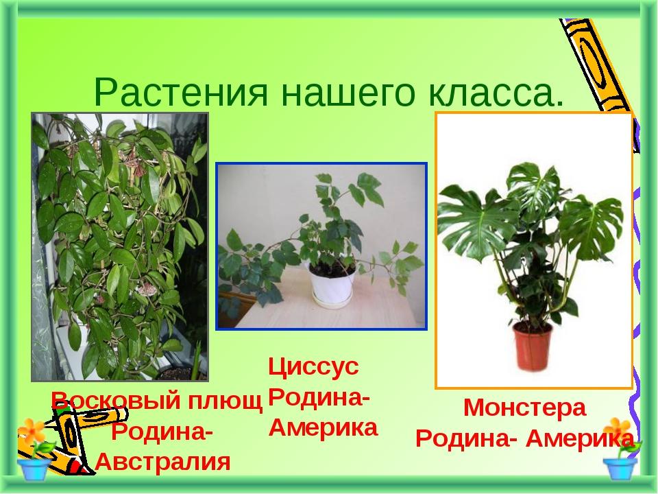 Растения нашего класса. Восковый плющ Родина-Австралия Циссус Родина- Америка...