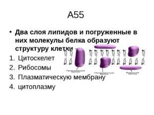 А55 Два слоя липидов и погруженные в них молекулы белка образуют структуру кл