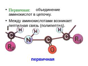 первичная объединение аминокислот в цепочку. Между аминокислотами возникает п