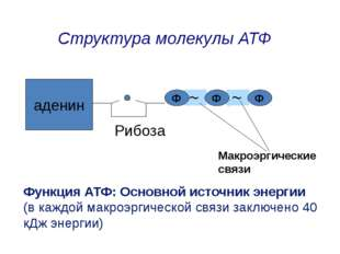 аденин Ф Ф Ф Рибоза Макроэргические связи Структура молекулы АТФ Функция АТФ: