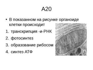 А20 В показанном на рисунке органоиде клетки происходит транскрипция -и-РНК ф