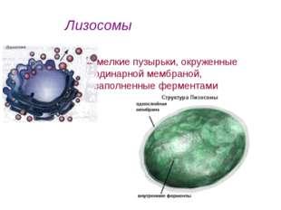 мелкие пузырьки, окруженные одинарной мембраной, заполненные ферментами Лизо