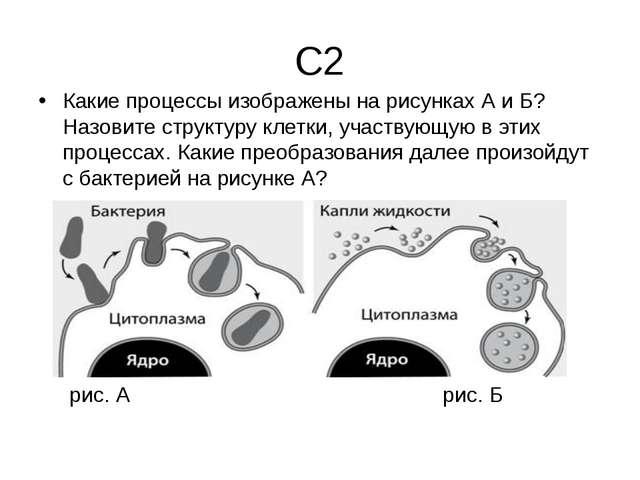С2 Какие процессы изображены на рисунках А и Б? Назовите структуру клетки, уч...