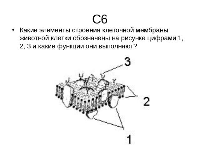С6 Какие элементы строения клеточной мембраны животной клетки обозначены на р...