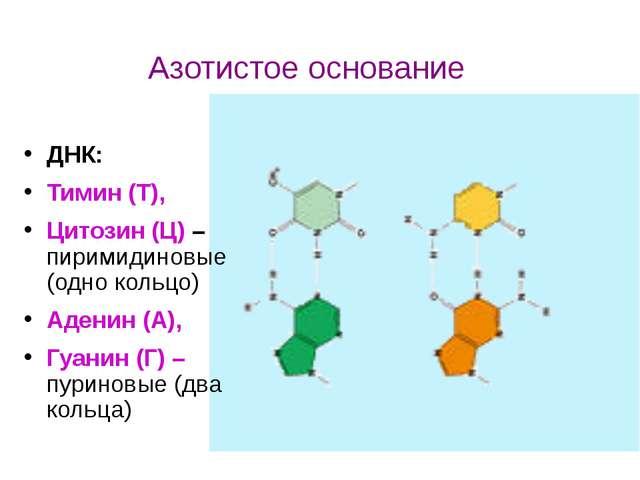 ДНК: Тимин (Т), Цитозин (Ц) – пиримидиновые (одно кольцо) Аденин (А), Гуанин...