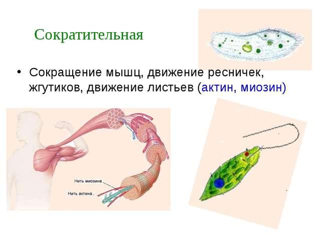 Сокращение мышц, движение ресничек, жгутиков, движение листьев (актин, миозин...