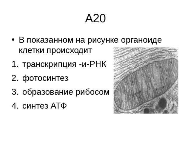А20 В показанном на рисунке органоиде клетки происходит транскрипция -и-РНК ф...