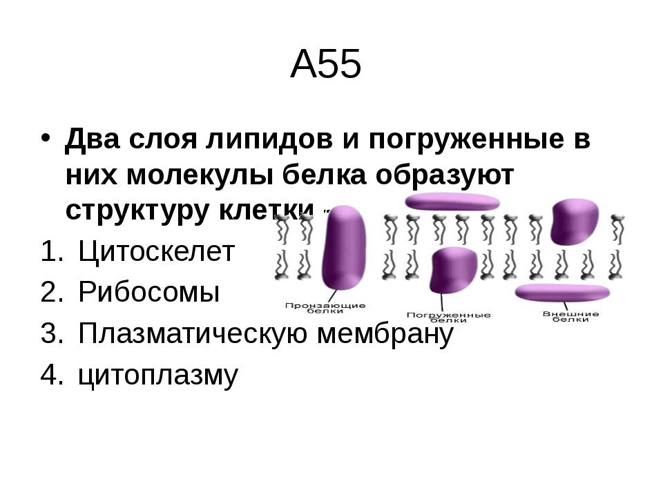 А55 Два слоя липидов и погруженные в них молекулы белка образуют структуру кл...