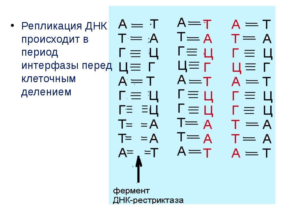 Репликация ДНК происходит в период интерфазы перед клеточным делением