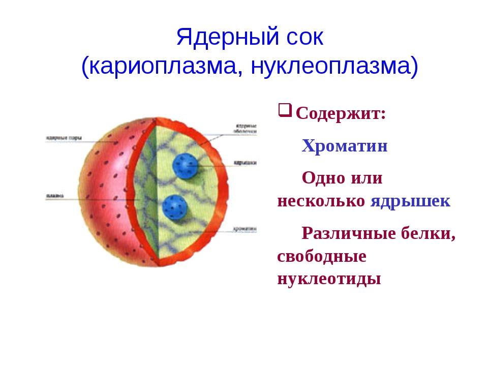 Содержит: Хроматин Одно или несколько ядрышек Различные белки, свободные н...