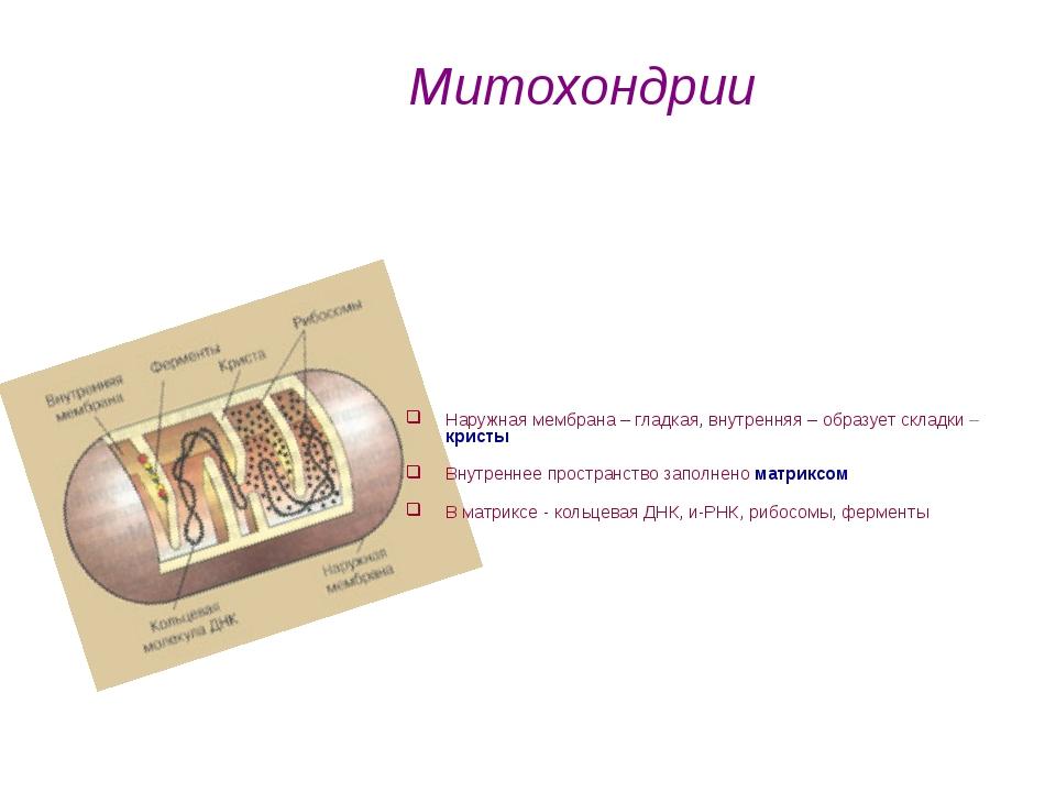 Наружная мембрана – гладкая, внутренняя – образует складки – кристы Внутренне...