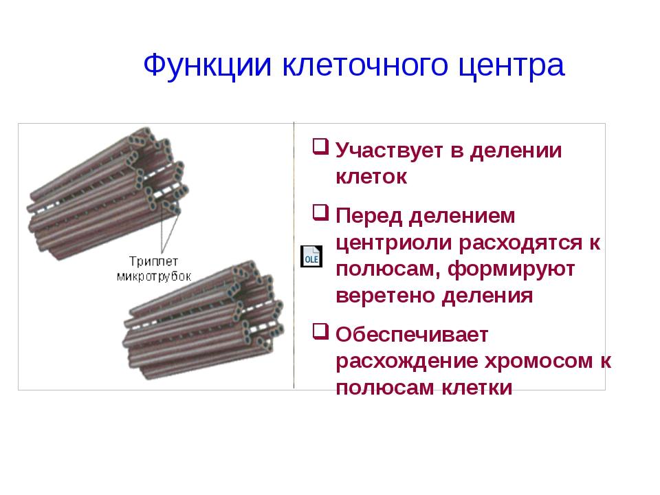 Участвует в делении клеток Перед делением центриоли расходятся к полюсам, фор...