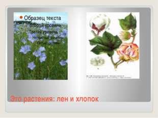 Это растения: лен и хлопок