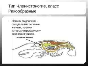 Тип Членистоногие, класс Ракообразные Органы выделения – специальные зеленые