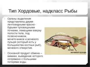 Тип Хордовые, надкласс Рыбы Органы выделения представлены двумя лентовидными