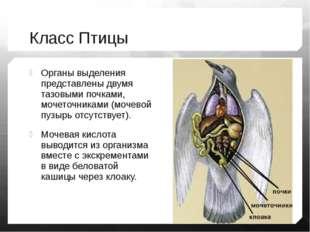 Класс Птицы Органы выделения представлены двумя тазовыми почками, мочеточника