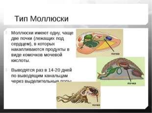Тип Моллюски Моллюски имеют одну, чаще две почки (лежащих под сердцем), в кот
