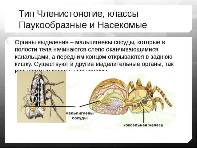 Тип Членистоногие, классы Паукообразные и Насекомые Органы выделения – мальпи...