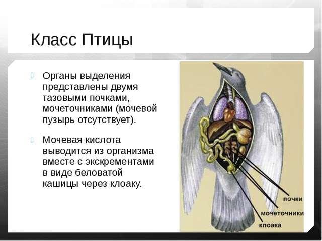 Класс Птицы Органы выделения представлены двумя тазовыми почками, мочеточника...