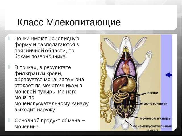 Класс Млекопитающие Почки имеют бобовидную форму и располагаются в поясничной...