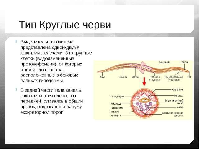 Тип Круглые черви Выделительная система представлена одной-двумя кожными желе...