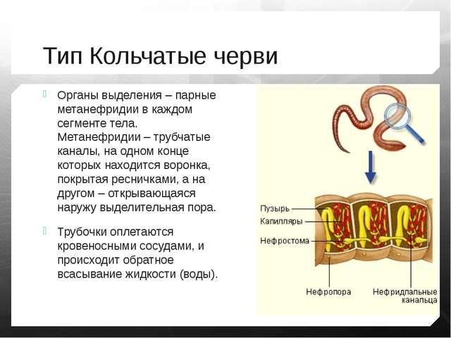 Тип Кольчатые черви Органы выделения – парные метанефридии в каждом сегменте...