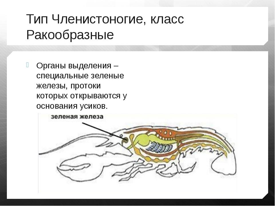 Тип Членистоногие, класс Ракообразные Органы выделения – специальные зеленые...