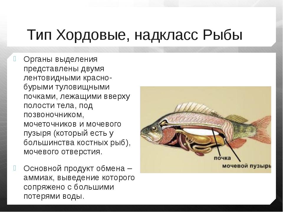 Тип Хордовые, надкласс Рыбы Органы выделения представлены двумя лентовидными...