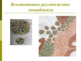 Вегетативное размножение лишайников