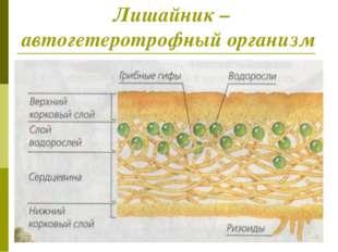 Лишайник – автогетеротрофный организм