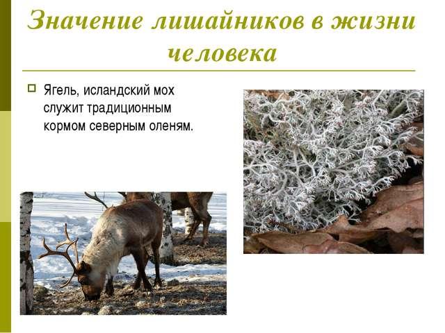 Значение лишайников в жизни человека Ягель, исландский мох служит традиционны...