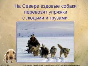 На Севере ездовые собаки перевозят упряжки с людьми и грузами. copyright 200