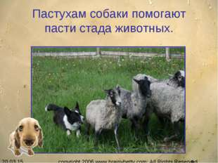 Пастухам собаки помогают пасти стада животных. copyright 2006 www.brainybetty
