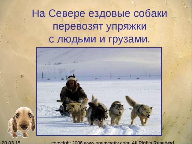 На Севере ездовые собаки перевозят упряжки с людьми и грузами. copyright 200...