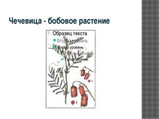 Чечевица - бобовое растение