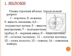 1. ЯБЛОКИ Схема строения яблока (продольный разрез): 1 - воронка; 2- кожица;