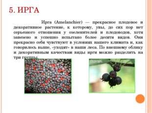 5. ИРГА Ирга (Amelanchier) — прекрасное плодовое и декоративное растение, к к