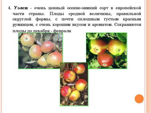 4. Уэлси - очень ценный осенне-зимний сорт в европейской части страны. Плоды...