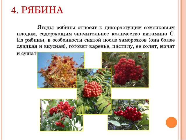 4. РЯБИНА Ягоды рябины относят к дикорастущим семечковым плодам, содержащим з...