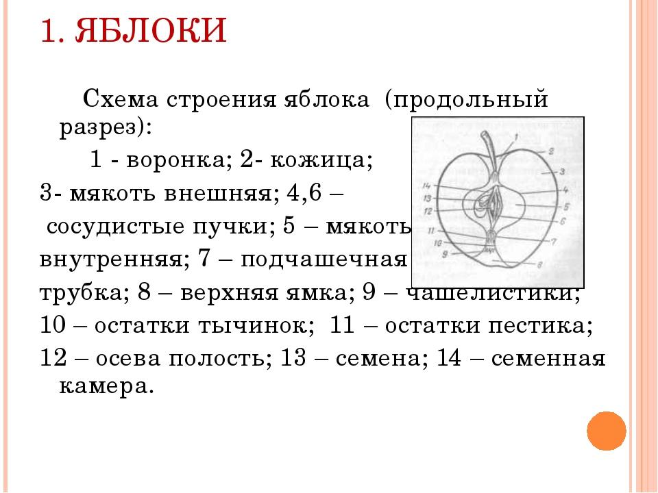 1. ЯБЛОКИ Схема строения яблока (продольный разрез): 1 - воронка; 2- кожица;...