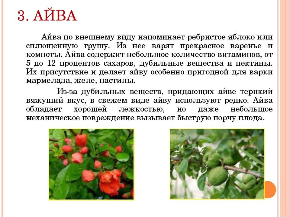 3. АЙВА Айва по внешнему виду напоминает ребристое яблоко или сплющенную груш...