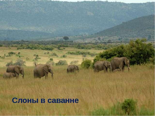 Слоны в саванне