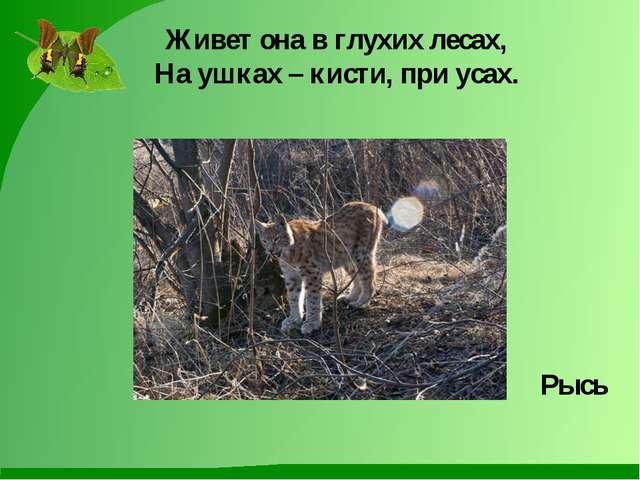 Живет она в глухих лесах, На ушках – кисти, при усах. Рысь