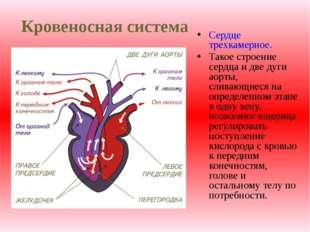 Кровеносная система Сердце трехкамерное. Такое строение сердца и две дуги аор