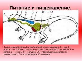 Питание и пищеварение. Схема пищеварительной и дыхательной систем ящерицы: 1