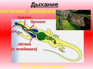 Дыхание ноздри трахея бронхи лёгкие (с ячейками) Есть трахея и бронхи лёгочно
