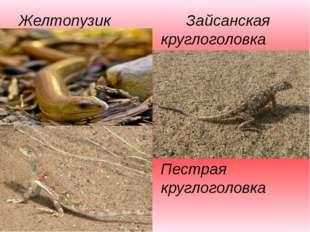 Желтопузик Зайсанская круглоголовка Пестрая круглоголовка