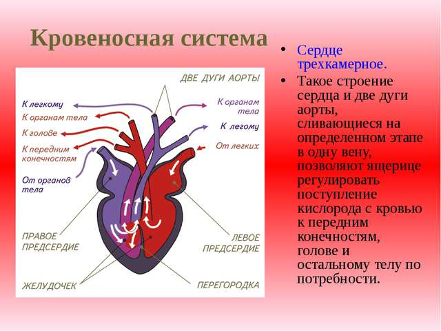 Кровеносная система Сердце трехкамерное. Такое строение сердца и две дуги аор...